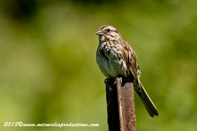 Song Sparrow Picture-135