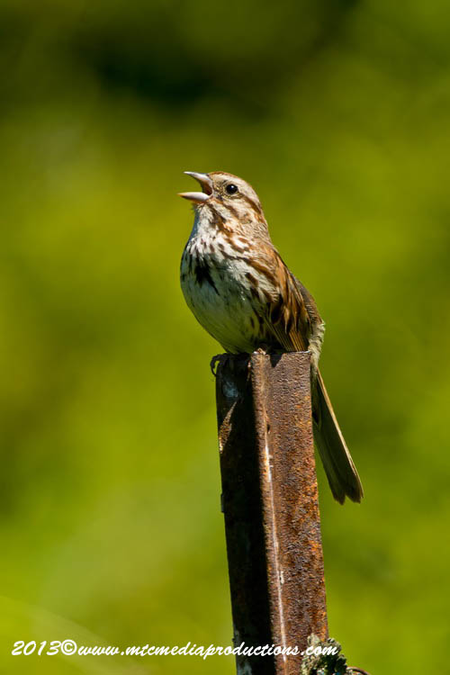 Song Sparrow Picture-136