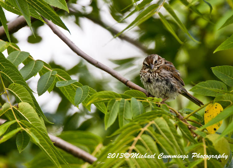 Song Sparrow Picture-137