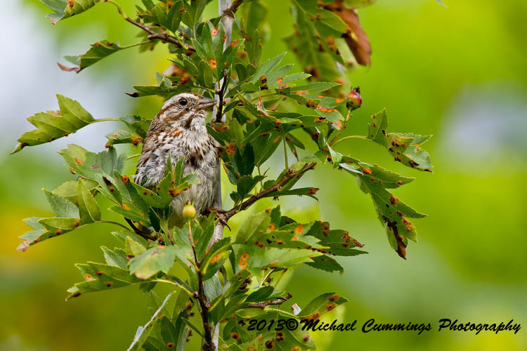 Song Sparrow Picture-138