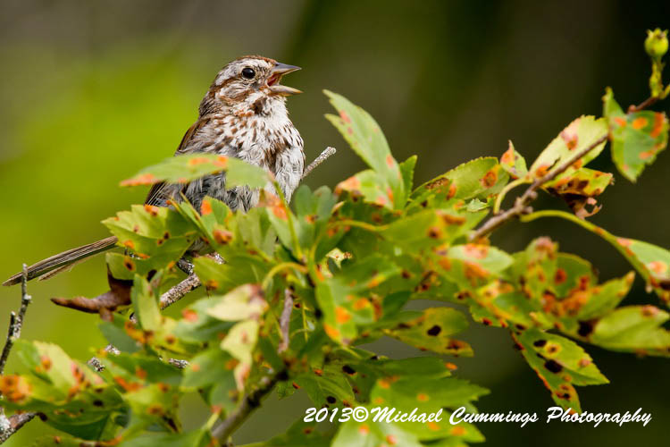 Song Sparrow Picture-139