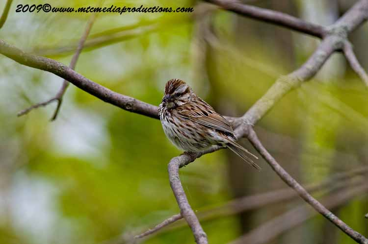 Song Sparrow Picture-14