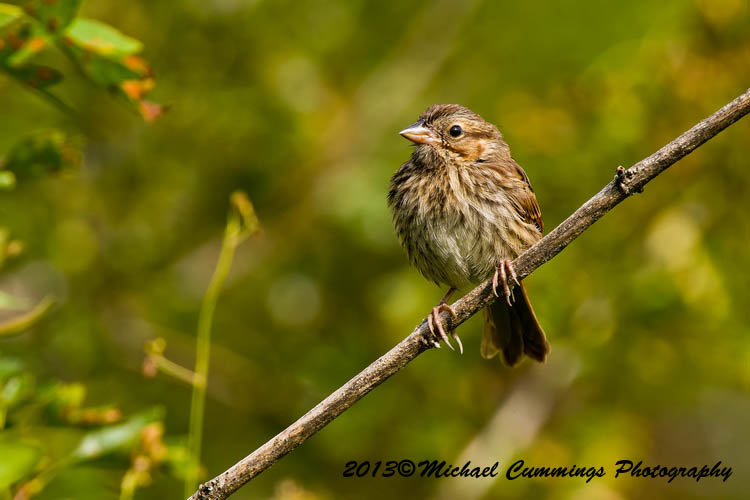 Song Sparrow Picture-140