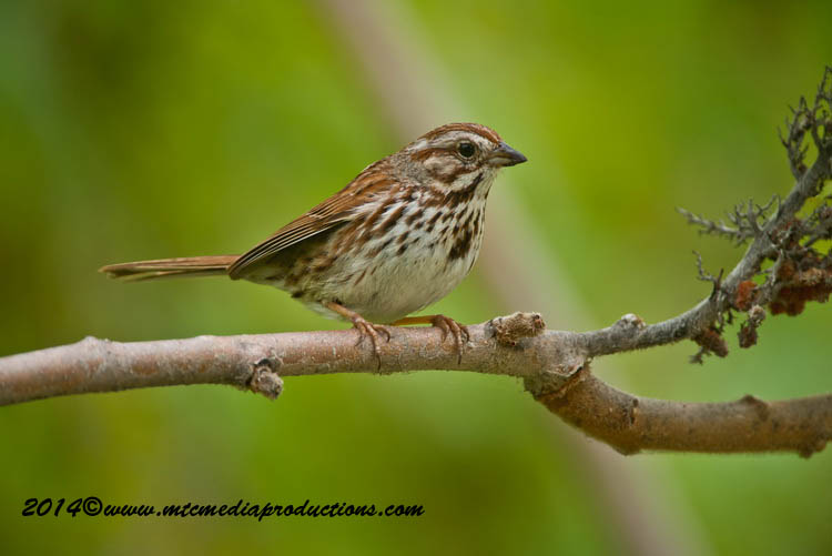 Song Sparrow Picture-142