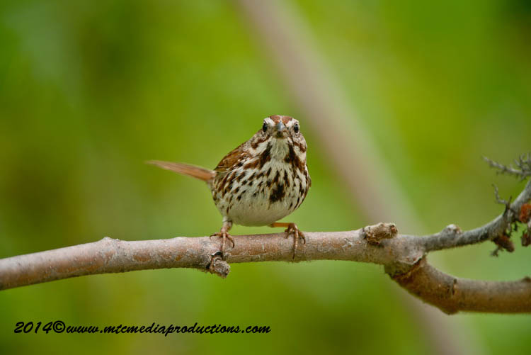 Song Sparrow Picture-143