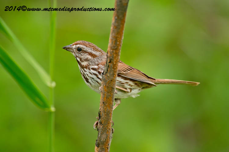Song Sparrow Picture-144