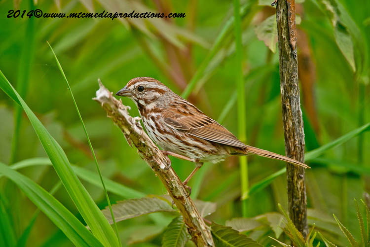 Song Sparrow Picture-145