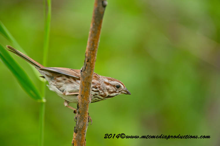 Song Sparrow Picture-146