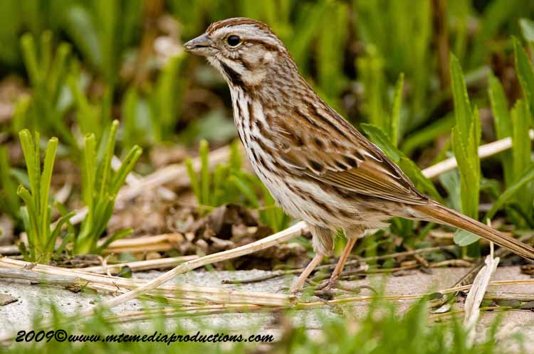 Song Sparrow Picture-15