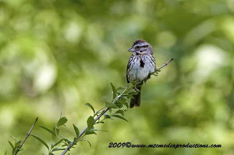 Song Sparrow Picture-16