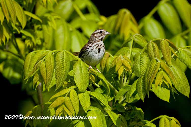 Song Sparrow Picture-18