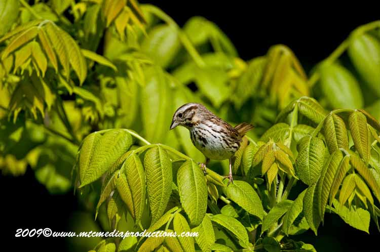 Song Sparrow Picture-19