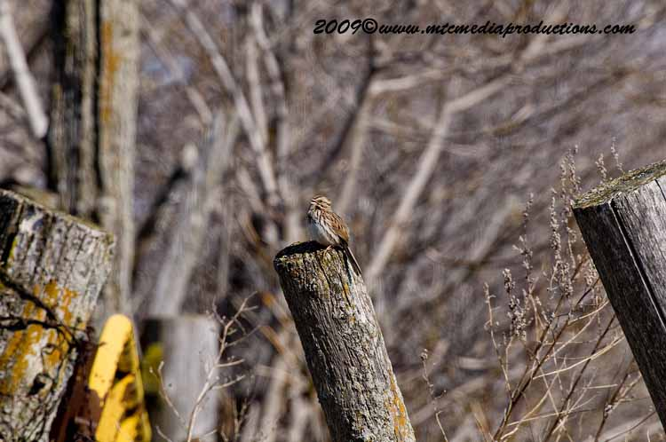 Song Sparrow Picture-02