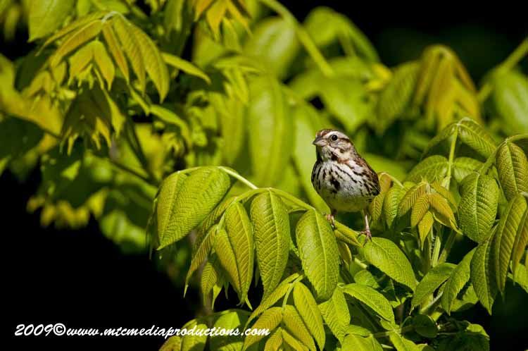 Song Sparrow Picture-20
