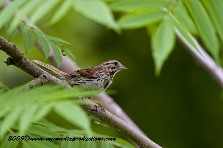 Song Sparrow Picture-21