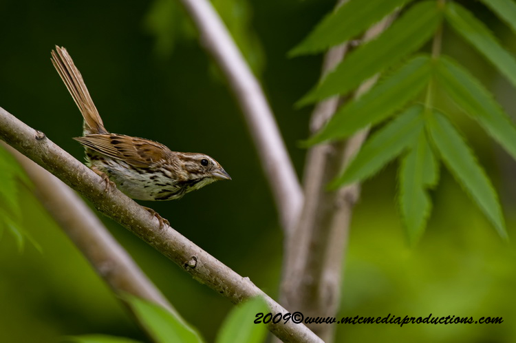 Song Sparrow Picture-22