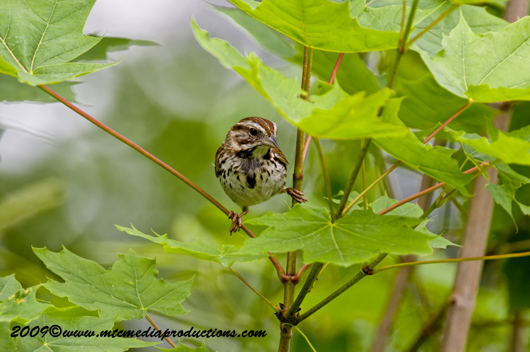Song Sparrow Picture-23