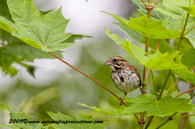 Song Sparrow Picture-24