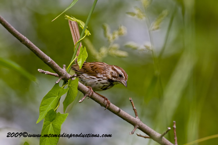 Song Sparrow Picture-25