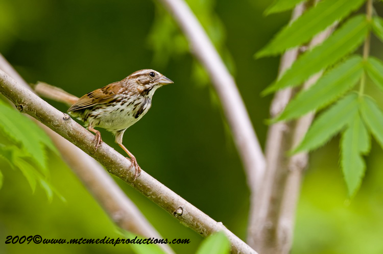 Song Sparrow Picture-26