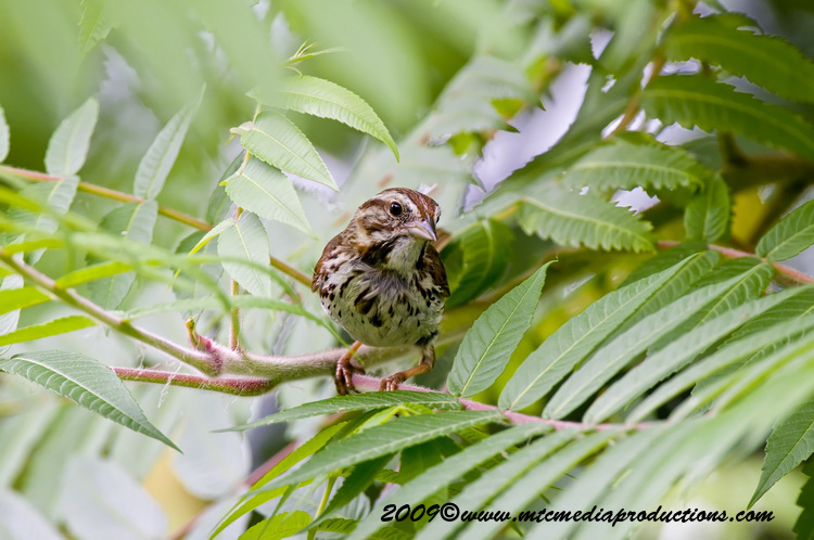 Song Sparrow Picture-27