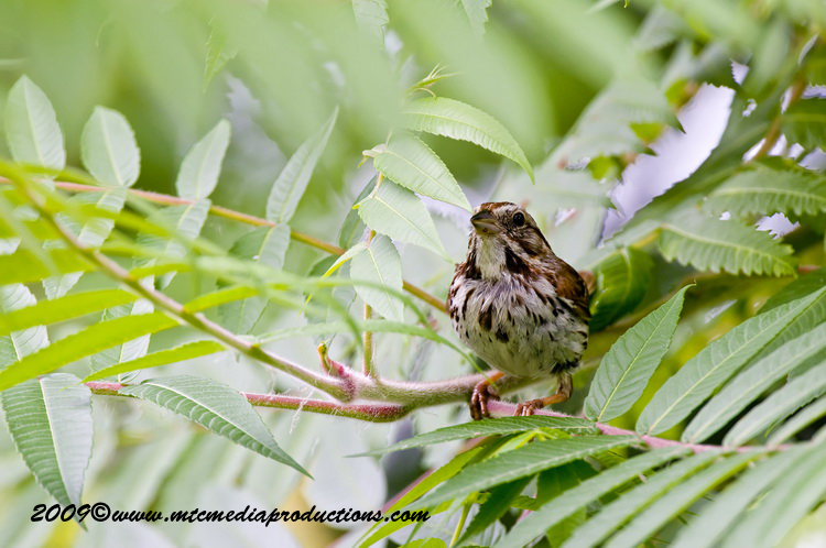 Song Sparrow Picture-28