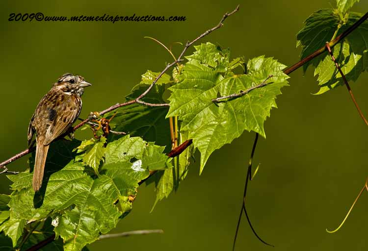Song Sparrow Picture-29