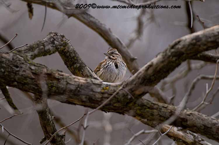 Song Sparrow Picture-03