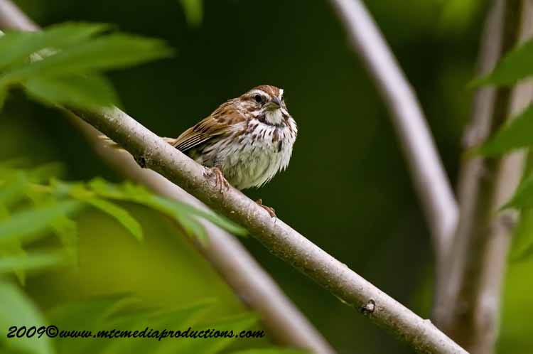 Song Sparrow Picture-30