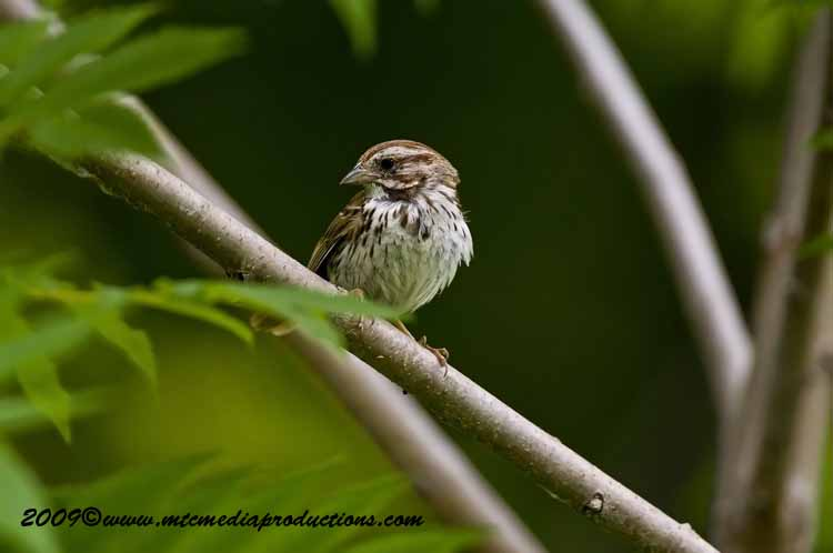 Song Sparrow Picture-31