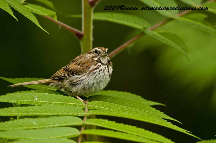 Song Sparrow Picture-33