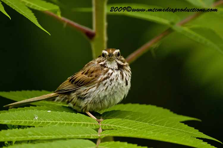 Song Sparrow Picture-34