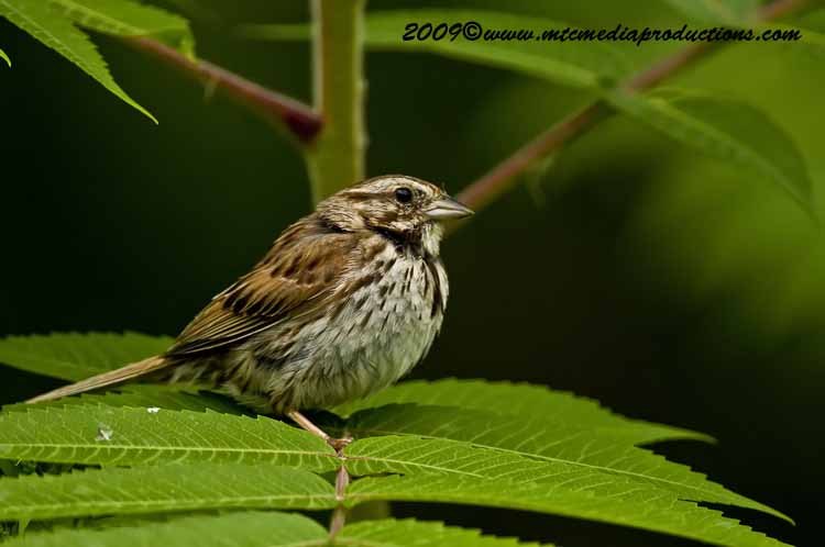 Song Sparrow Picture-35