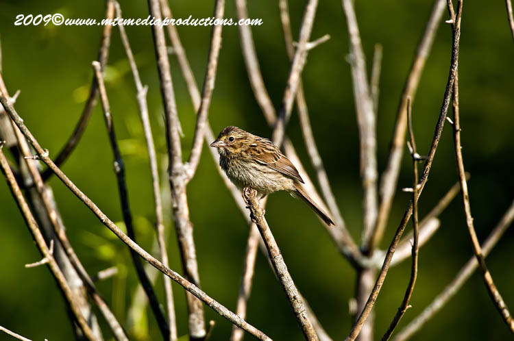 Song Sparrow Picture-36