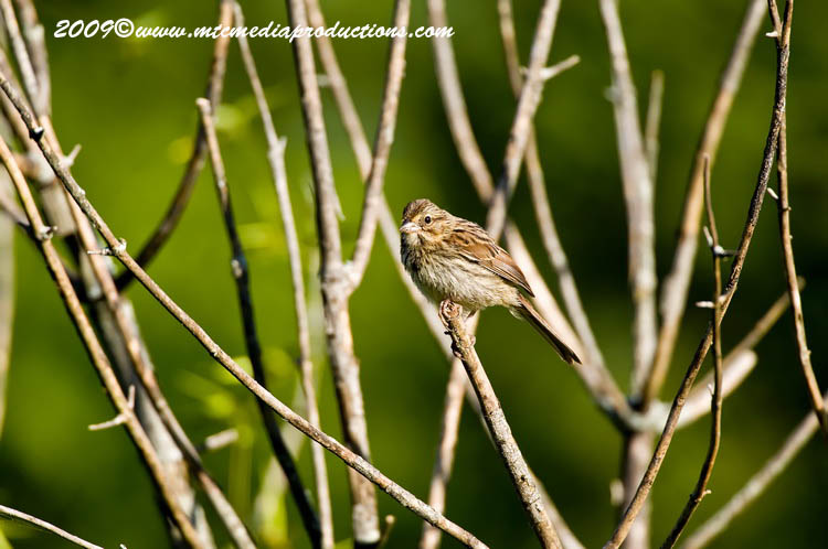 Song Sparrow Picture-37