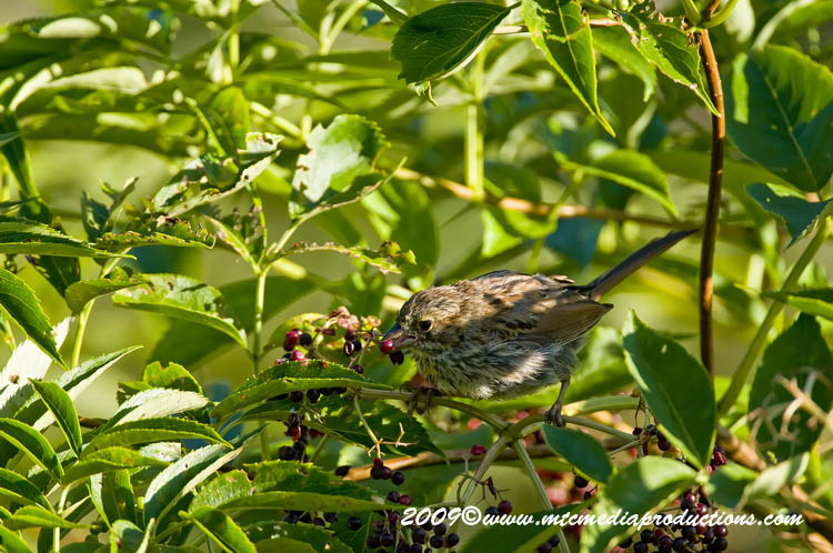 Song Sparrow Picture-39