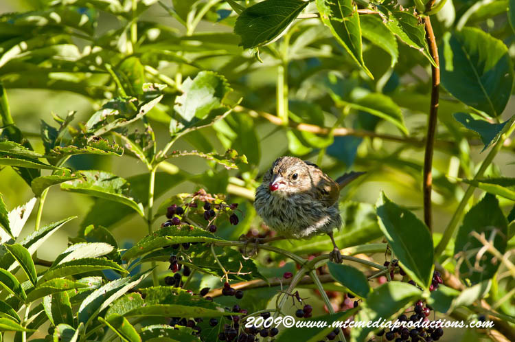 Song Sparrow Picture-40