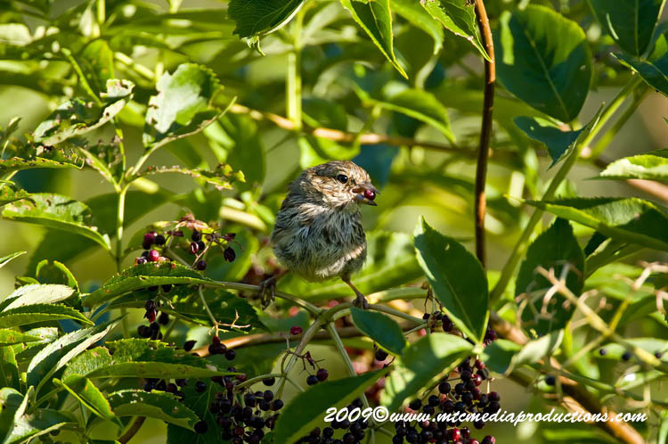 Song Sparrow Picture-41