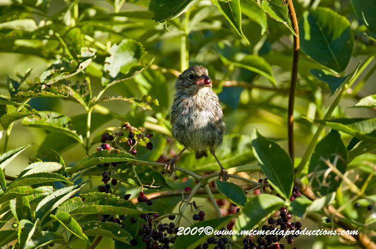 Song Sparrow Picture-43