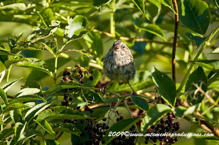 Song Sparrow Picture-44