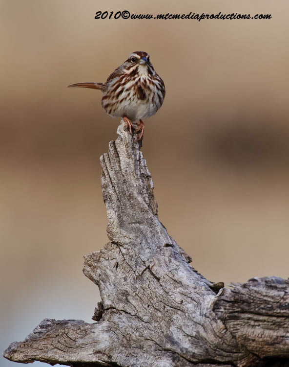 Song Sparrow Picture-45