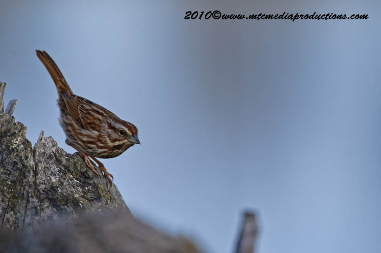 Song Sparrow Picture-46