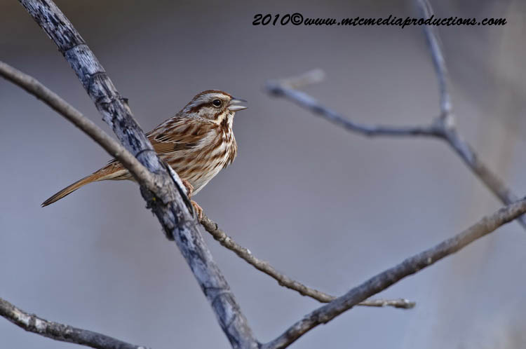 Song Sparrow Picture-47
