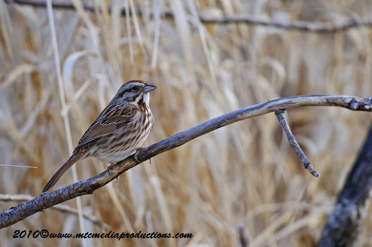 Song Sparrow Picture-48