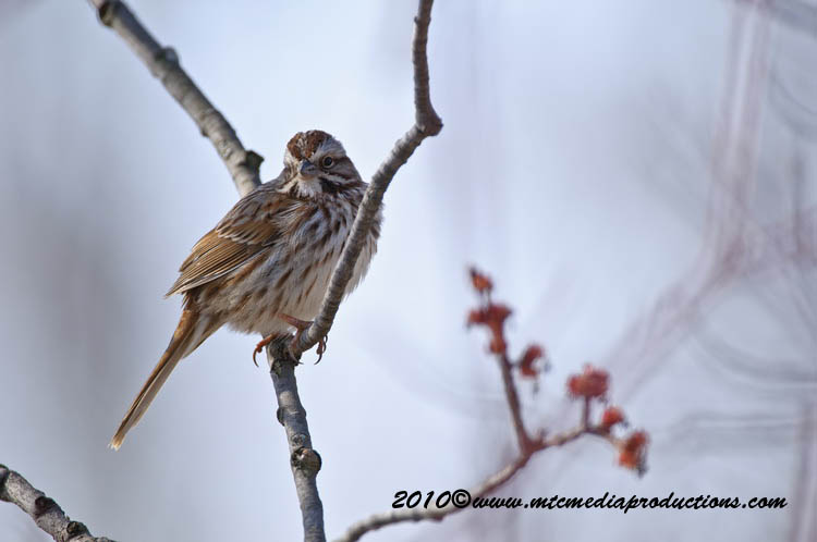 Song Sparrow Picture-49