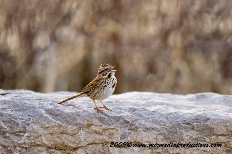 Song Sparrow Picture-04