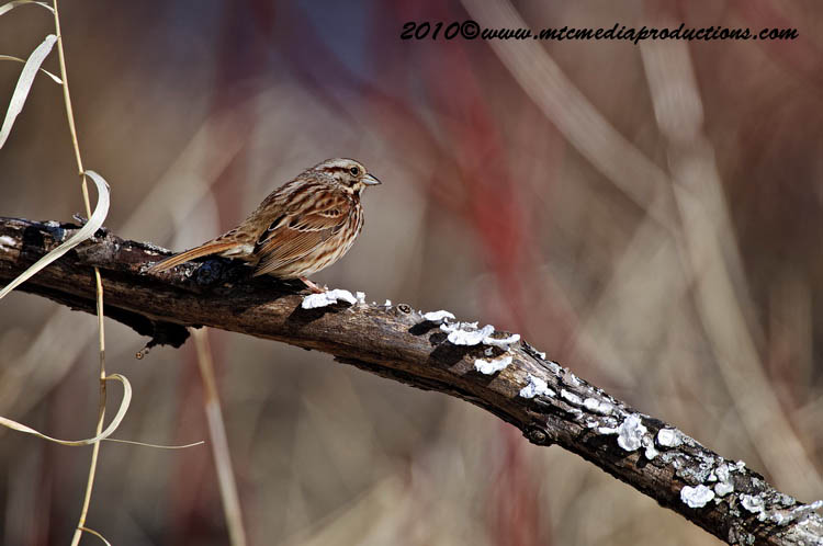 Song Sparrow Picture-50