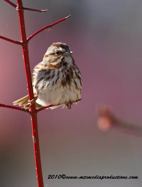 Song Sparrow Picture-52