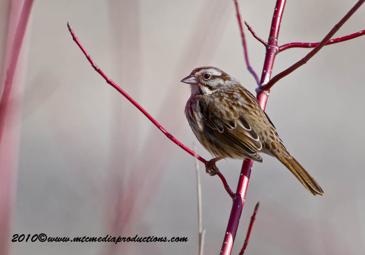 Song Sparrow Picture-53