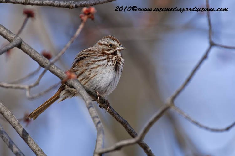 Song Sparrow Picture-54